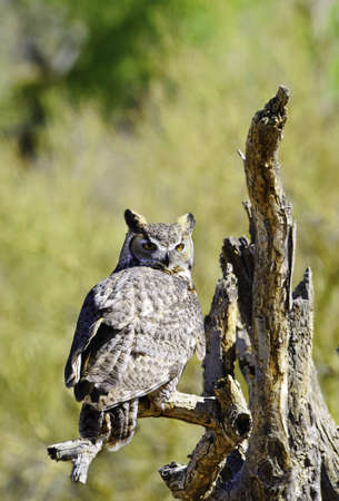 A great horned owl perched on a dead branch Stock Photo - 10704839