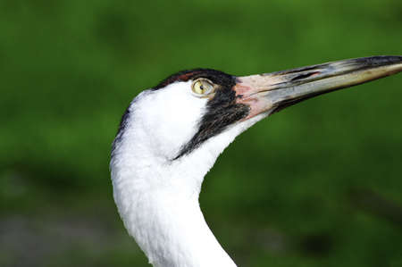 whooping: Portrait of an endangered whooping crane