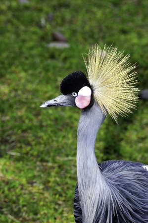 Portrait of a West African crowned crane