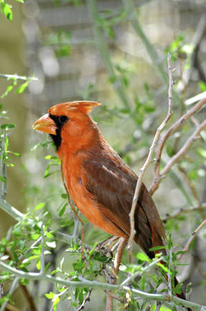 topknot: A red cardinal perched on a branch