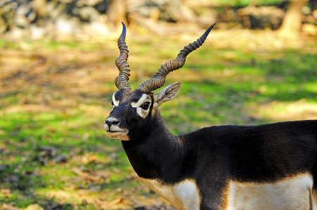 A male blackbuck with twisted horns