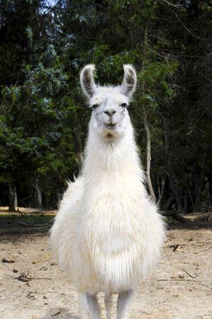llama: A piedi Llama bianca verso la telecamera