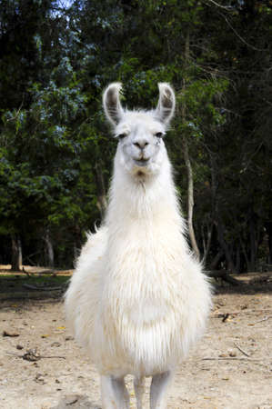 A white Llama walking toward the camera