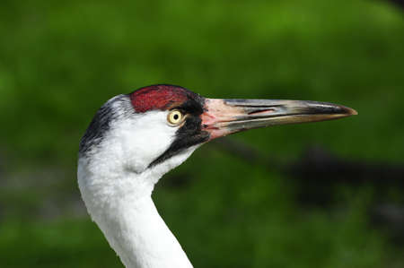 whooping: Portrait of a whooping crane Stock Photo