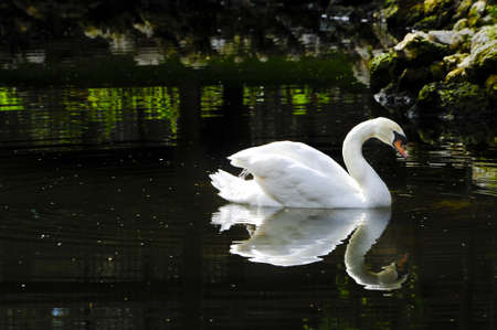 A Mute Swan with her reflection in the lake