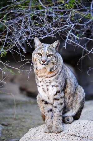 lince rojo: Retrato de un Bobcat sentado en una roca