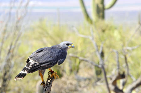 A Grey Hawk perched on a dead cactus in the desert Imagens