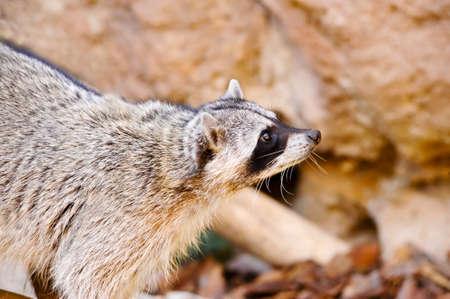 A portrait of a raccoon Imagens
