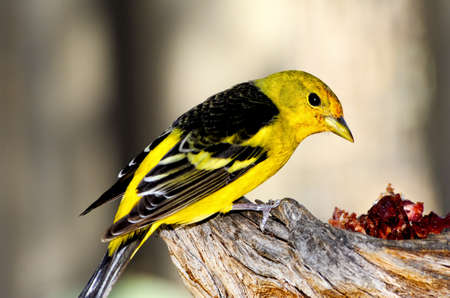 A western tanager feeding on a branch