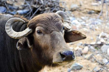 Close-up van een waterbuffel