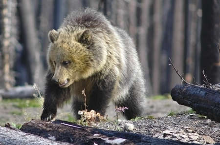 burned out: A grizzly bear cub walking through a burned out forest  Stock Photo