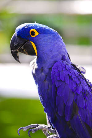 A bright colored hyacinth macaw