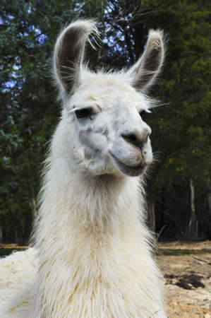 Closeup of a white llama with flies on his face