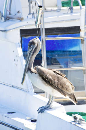 A brown pelican perched on a white boat Stock Photo - 13522400