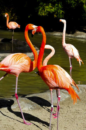 A flock of caribbean flamingos near a pool of water Stock Photo