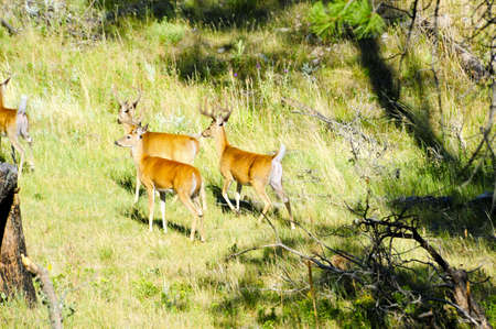 A herd of white tailed deer bucks  Фото со стока