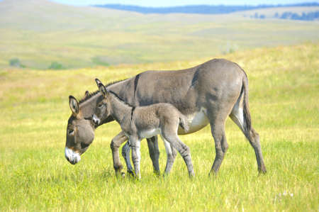 baby animals: A mother and baby burro standing in a field of grass at Custer State Park, South Dakots Stock Photo