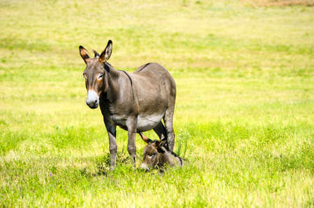 burro: A mother and baby burro  in a field of grass at Custer State Park, South Dakota  Stock Photo