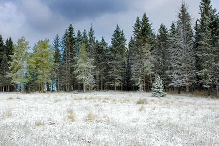 A forest covered in snow in New Mexico photo