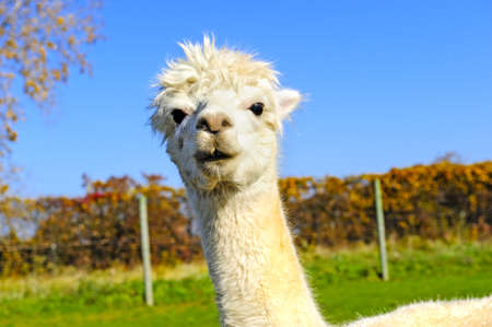 Portrait of a white alpaca with fall leaves in the back ground photo