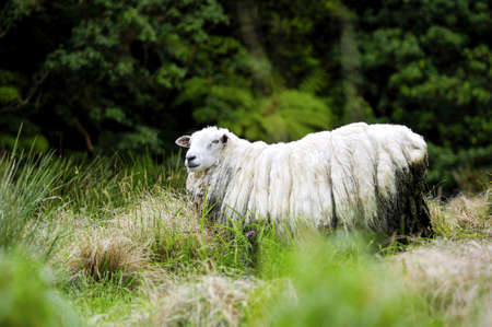 wooly: A wooly sheep in a field in New Zealand