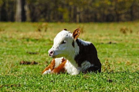 A Hereford calf lying in a field  版權商用圖片