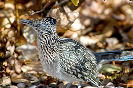 chaparral: Closeup of a Road Runner in New Mexico