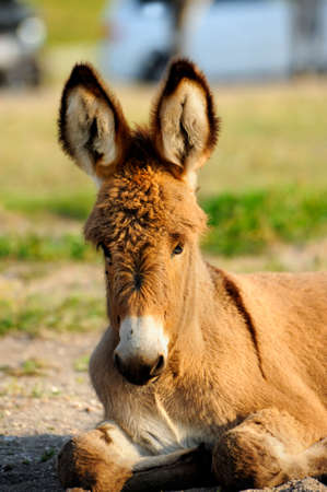 burro: A baby burro resting with his ears perked up at custer state park, south dakota Stock Photo
