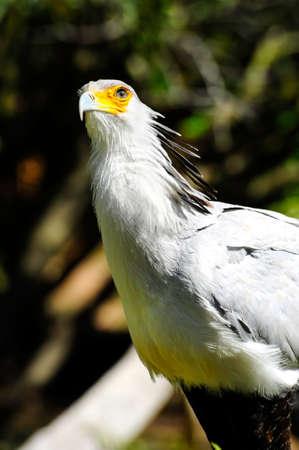 Portrait of a secretary bird Stock fotó - 23739588