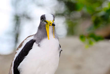 lapwing: Portrait of a White Headed Lapwing Stock Photo