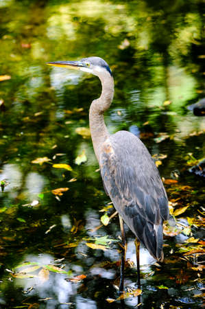 wading: Great Blue Heron wading in a creek  Stock Photo