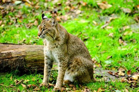 bobcat: Un lince sentado al lado de un tronco en la hierba verde Foto de archivo
