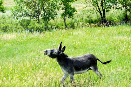 A wild burro making a funny expression Stock Photo