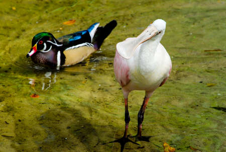 roseate: A Roseate Spoonbill with a Wood Duck swimming in background out of focus