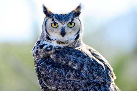 A portrait of a Great Horned Owl Фото со стока