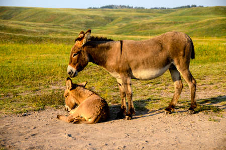 burro: A mother burro standing next to her baby lying down