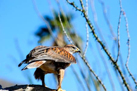 ferruginous: A Ferruginous Hawk perched on a branch  Stock Photo