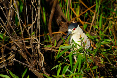 A Crowned Night Heron stalking fish in the Everglades national Park  photo