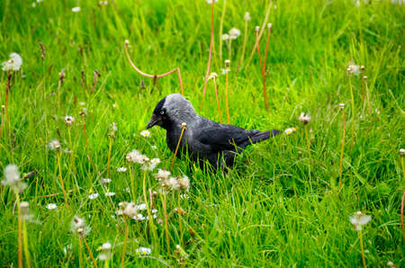jackdaw: A Western Jackdaw portrait in a green field. Stock Photo