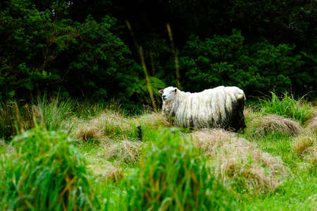 wooly: A sheep in a green field in New Zealand
