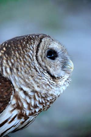 bared: Profile of a Bared Owl. Stock Photo