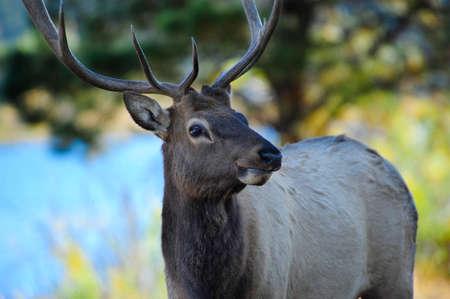 wapiti: Portrait of a Bull Elk