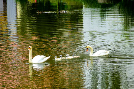 A family group of Mute Swans swimming in the River Wornitz in Harburg Germany.