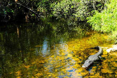 An alligator floating in water near Evergaldes National Park, Florida.