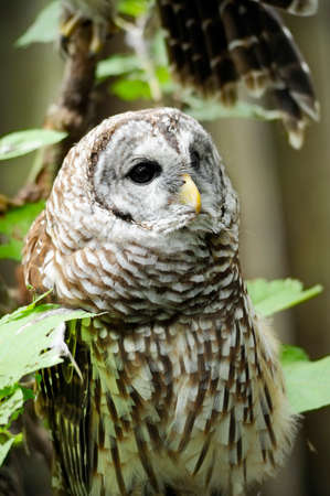 Portrait of a Barred Owl.