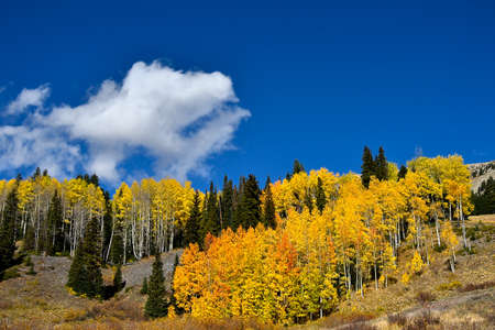 Aspens turning red and yellow in the Rocky Mountains, Colorado. Stok Fotoğraf