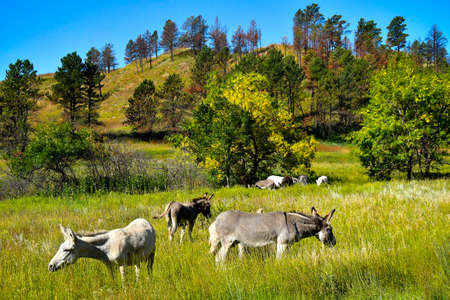 Wild Burros grazing in a green meadow at Custer State Park, South Dakota. 版權商用圖片