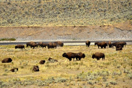 A herd of Buffalo near the Lamar River in Yellowstone National Park.