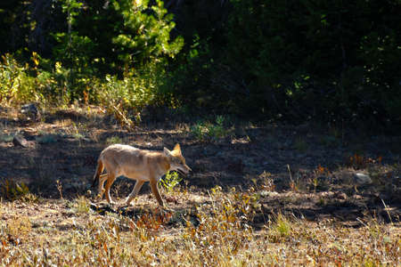 Coyote walking in Yellowstone National Park.