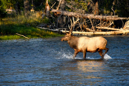Bull Elk crossing the Madison River, Yellowstone National Park.